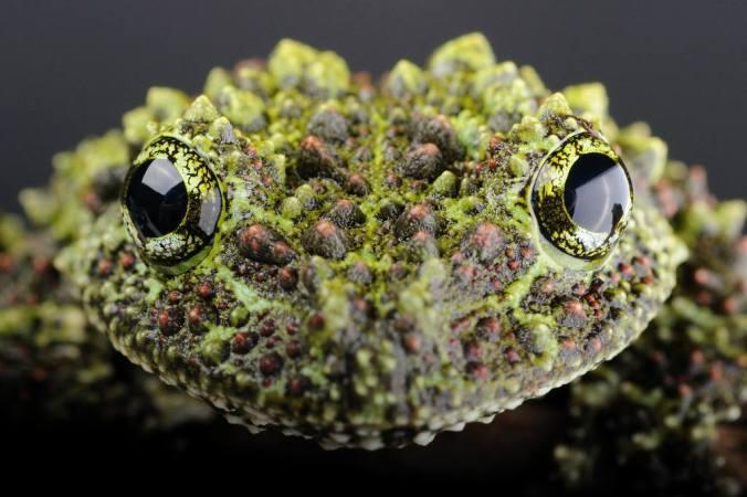 Vietnamesischer Frosch