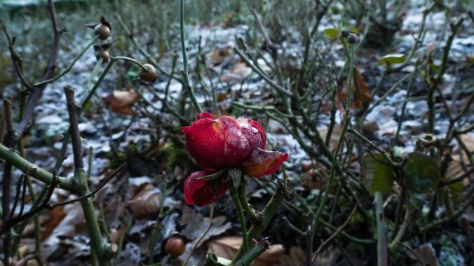 Burg Bad Bentheim Frost Rose